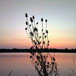 Dipsacus fullonum - fotogafirao Slaven Bandur