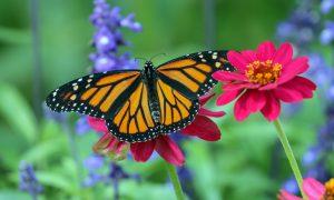 Leptir u čahuri