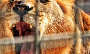 Daniel drugi put u lavljoj jami Zašto lavovi nisu proždrli Danijela
