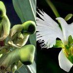Posebna orhideja: cvjeta u vrijeme Pedesetnice i izgleda poput golubice