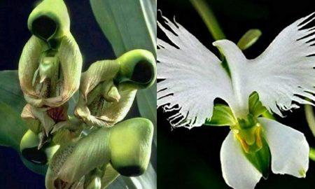 Posebna orhideja: cvjeta u vrijeme Pedesetnice i izgleda poput goluba