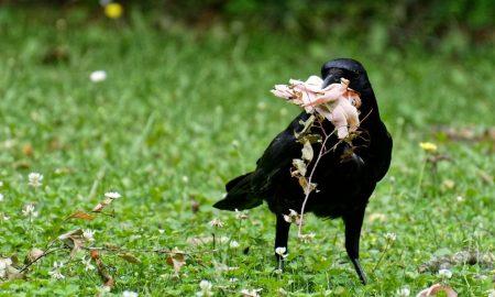 Seljaci su često viđali gavrana koji je dolazio Padre Piju noseći mu hranu
